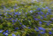 No.3 Blå kornblomster & lang lukkertid