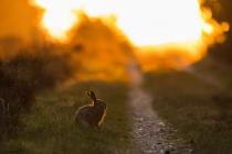 No.168 Hare i solnedgang