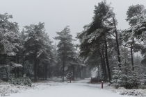 No.118 Sne i Tvorup Klitplantage 3