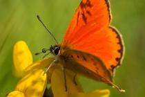 No.57 Dukat sommerfugl i Kællingetand
