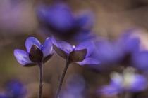 No.76 De blå anemoner 5