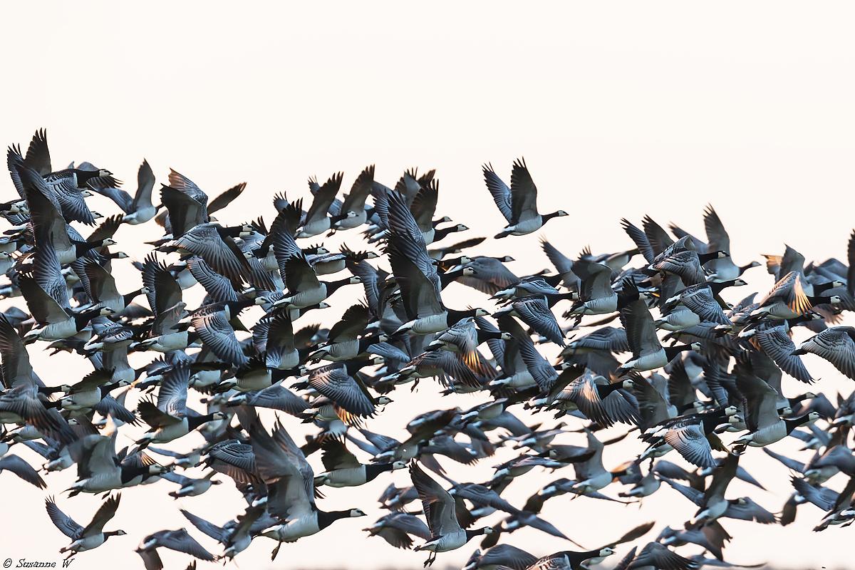 No.121 Bramgæs på vingerne