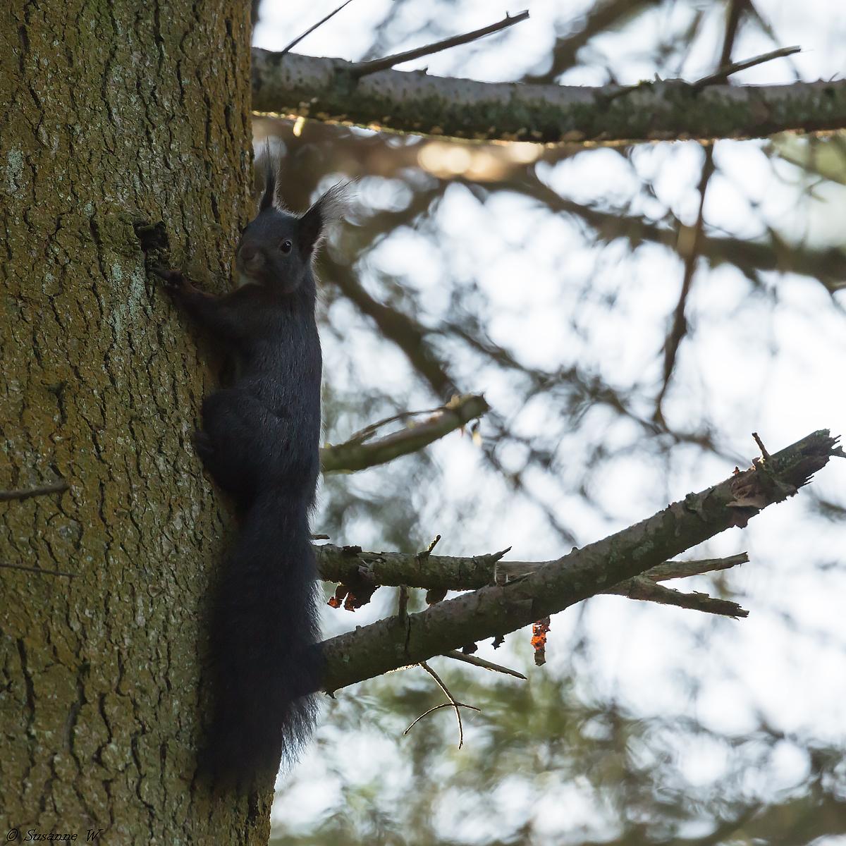 No.165 Sort egern