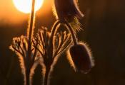 No.43 Nikkende Kobjælder i solopgang